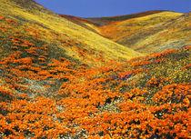 USA, Southern California, View of California golden poppy at... von Danita Delimont