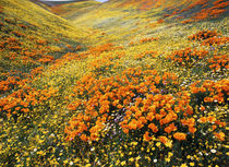 USA, California, Antelope Valley, View of California golden ... von Danita Delimont