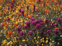 USA, California, View of Owl's Clover, poppies and coreopsis... by Danita Delimont