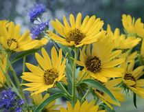 Maximillian sunflowers, California von Danita Delimont