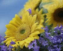Sunflower nestled among bluebells, California. von Danita Delimont