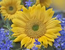 Sunflowers among bluebells, California von Danita Delimont