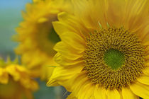 Close-up of a group of Sunflowers, California by Danita Delimont