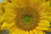 Close-up of the face of a Sunflower, California von Danita Delimont