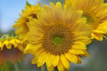 Sunflowers field, California by Danita Delimont