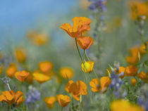 Close-up of California Poppies, USA von Danita Delimont