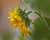Profile of a Sunflower, California by Danita Delimont