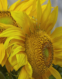 Close-up of Sunflowers, California by Danita Delimont