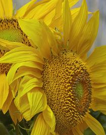 Close-up of Sunflowers, California von Danita Delimont