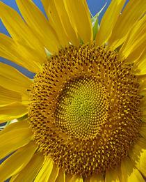 Portrait of a Sunflower, California von Danita Delimont
