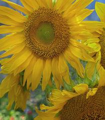 Maturing Sunflowers, California von Danita Delimont