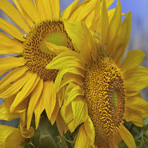 Group of yellow Sunflowers, California by Danita Delimont