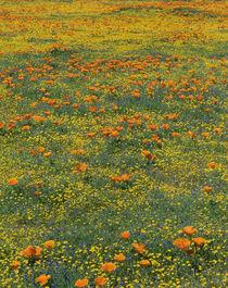 California poppies and Eriophyllum species meadow, summer sp... by Danita Delimont