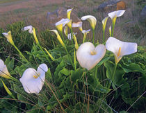 Calla lilies in bloom, California, USA by Danita Delimont