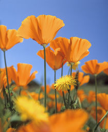 Bright orange California Poppies, California USA von Danita Delimont