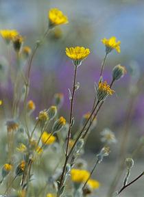 Desert Sunflowers, USA von Danita Delimont