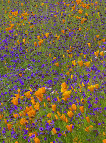 California poppies and desert bluebell wildflowers in a mead... by Danita Delimont
