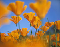 California poppies, California USA von Danita Delimont