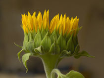 Sunflower profile. by Danita Delimont