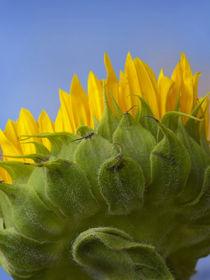 Underside of a Sunflower von Danita Delimont