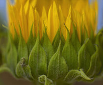 Profile of a Sunflower, California von Danita Delimont