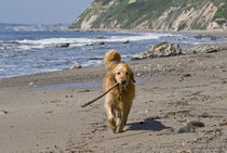 A Golden Retriever walking with a stick at Hendrey's Beach i... von Danita Delimont