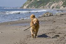 A Golden Retriever walking with a stick at Hendrey's Beach i... von Danita Delimont