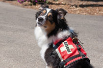 Australian Shepherd search and rescue dog von Danita Delimont