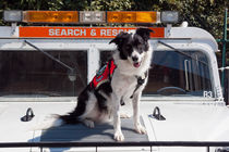 Border Collie search and rescue dog by Danita Delimont