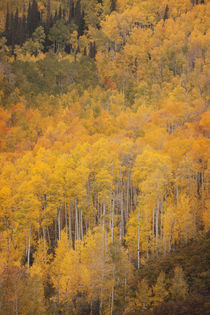 USA, Colorado, Gunnison National Forest by Danita Delimont