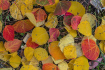 Fallen aspen leaves carpet the forest floor in the Uncompahg... by Danita Delimont