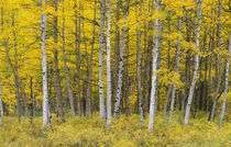 USA, Colorado, Gunnison National Forest, Fall colored aspen ... by Danita Delimont