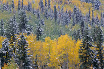 USA, Colorado, Uncompahgre National Forest, Snowfall on fall... by Danita Delimont