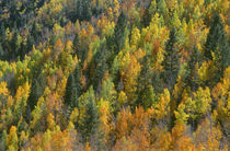 USA, Colorado, San Juan National Forest, Autumn colored aspe... by Danita Delimont