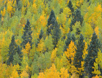 USA, Colorado, San Juan National Forest, Fall adds color to ... von Danita Delimont
