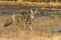 Coyote hunting. by Danita Delimont