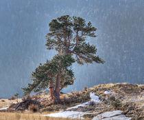 USA, Colorado, Tree in Estes Park. by Danita Delimont