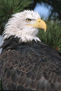 Bald Eagle in pine tree, Colorado by Danita Delimont