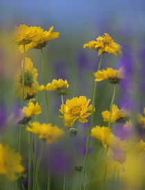 Coreopsis with Penstemon, Colorado, USA by Danita Delimont