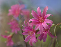 Lewisia Trevosia, summer Colorado, USA by Danita Delimont