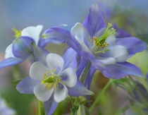 Rocky Mountain columbine, Colorado, USA von Danita Delimont