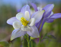 Close-up of a Rocky Mountain columbine, Colorado, USA von Danita Delimont