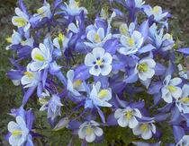 Rocky Mountain columbines, Colorado, USA by Danita Delimont
