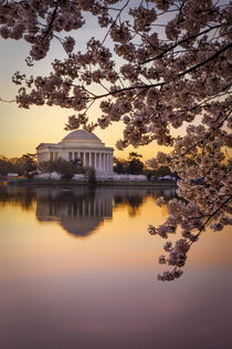 Cherry blossoms and the Jefferson Memorial at dawn in Washin... von Danita Delimont