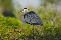 Florida, Venice, Great Blue Heron breeding Plumage, perched,... von Danita Delimont