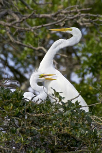 Great Egrets nesting by Danita Delimont