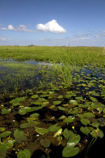 Water lilies and sawgrass in the Florida everglades. von Danita Delimont