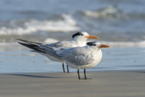 USA, Florida, New Smyna Beach, Royal Tern von Danita Delimont