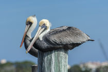 USA, Florida, New Smyrna Beach, pelicans roosting on pylon. von Danita Delimont