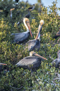 USA, Florida, New Smyrna Beach, Brown Pelicans in rookery. by Danita Delimont